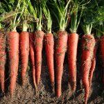 食卓に彩りを添える赤い人参『金時にんじん』 – Kintoki red carrot