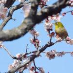 【香川 2/23-24 梅まつり】梅の香りに誘われてメジロがやってきました – Birds came to ume trees at the Ritsurin Garden