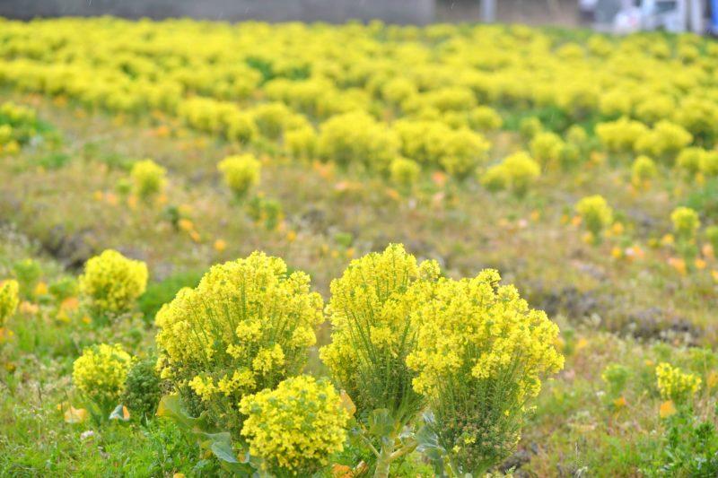ブロッコリーのお花畑が満開復 – Flowers of broccoli are blooming
