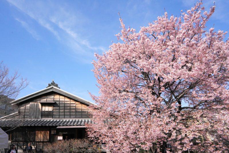 【国登録有形文化財】江戸時代に徳島城で愛でられていた桜。原田家住宅の蜂須賀桜 – Harada's House and Hachisuka Cherry Tree