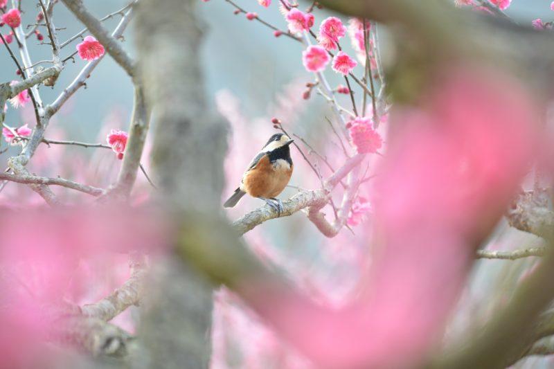 新元号「令和(れいわ)」万葉集の梅の花の歌より – Japanese Apricot Blossom Varieties of Ritsurin Grden