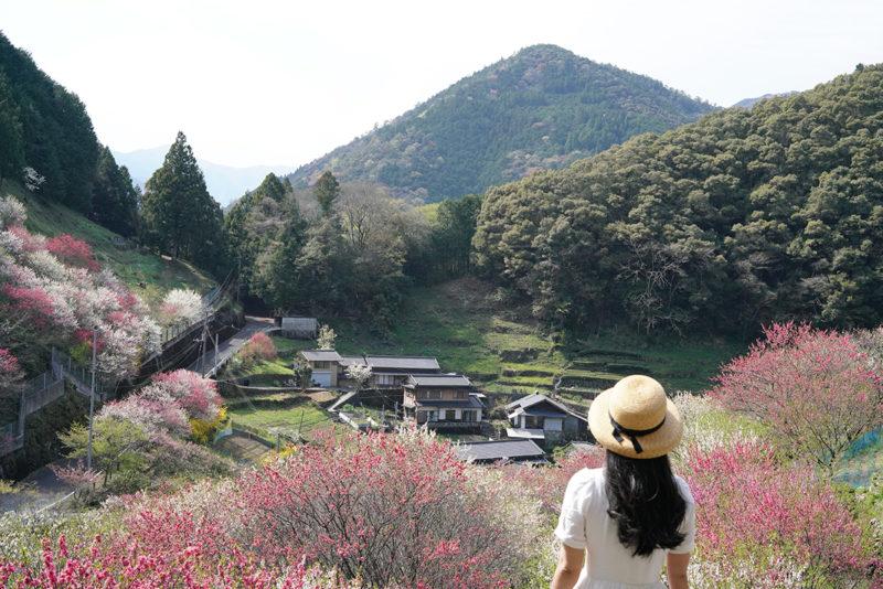 土佐の桃源郷「上久喜の花桃」 – Flowering peach fairyland of Kochi