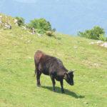 牛、草食む大川原高原。削蹄師(さくていし)という仕事