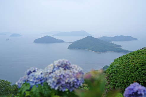 玉手箱の紫煙のよう。紫雲出山の紫陽花 –  Hydrangeas of Mt. Shiudeyama