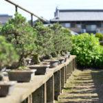 瀬戸内にきたら盆栽の里へ「中西珍松園 」 – Nakanishi Chinshoen, Bonsai Garden of Setouchi