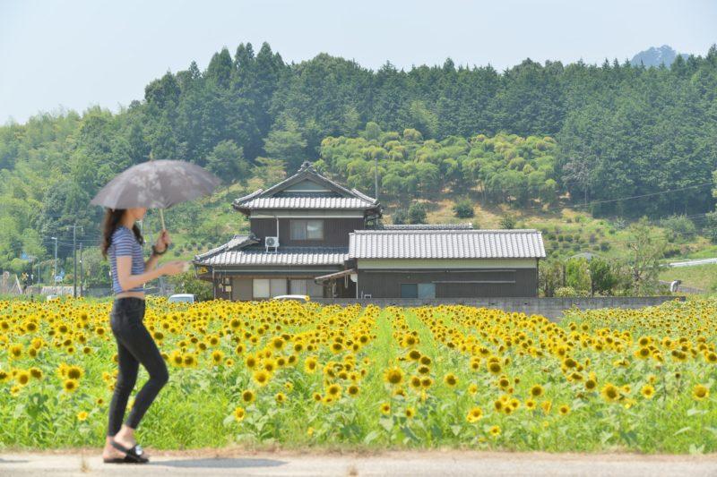 【香川 120万本】ひまわりオイル、ひまわり牛。まんのう町のひまわり畑 – Sunflower field of Mannou town, Kagwa pref.