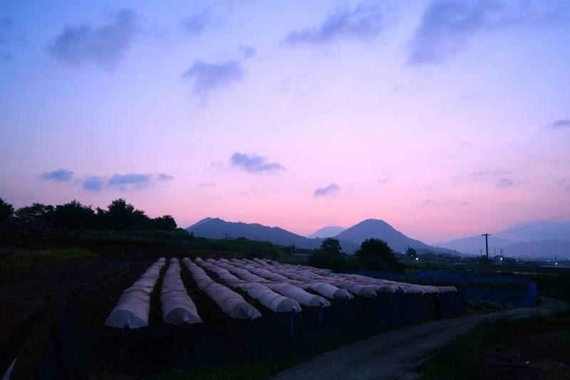 ぶどう色に染まる空の下。夜明け前に収穫するぶどう「白いぶどう」 – Shirai Grape Farm