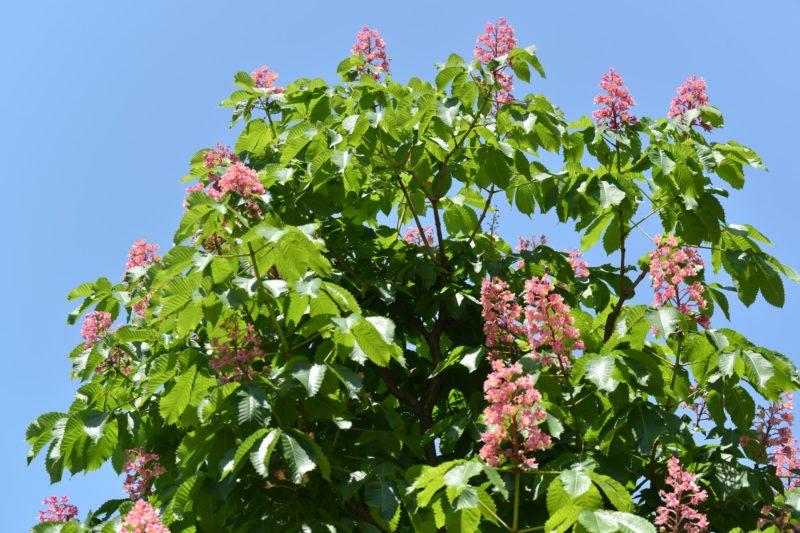 マロニエの並木が窓辺に見えてた – Foliage and flowers of marronnier