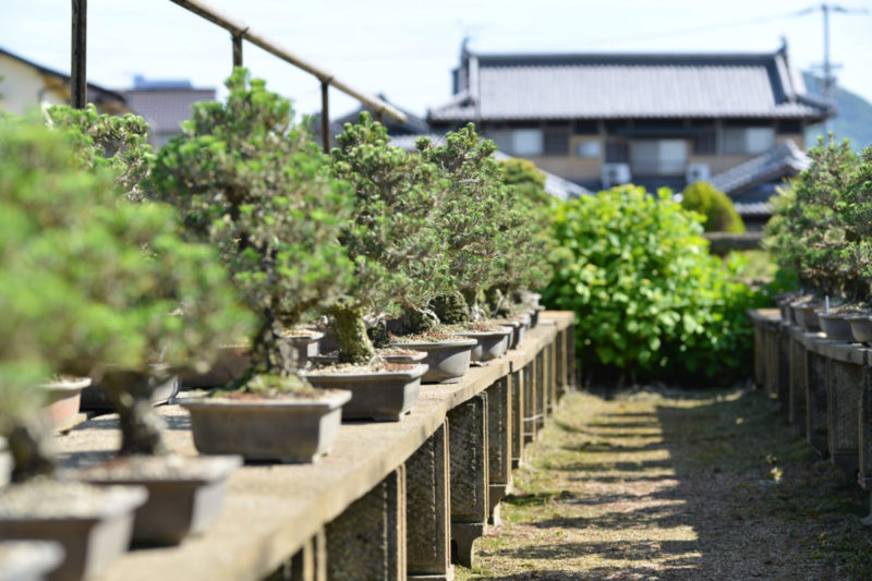 Export of black pine bonsai from Japan to EU possible from October 1 2020