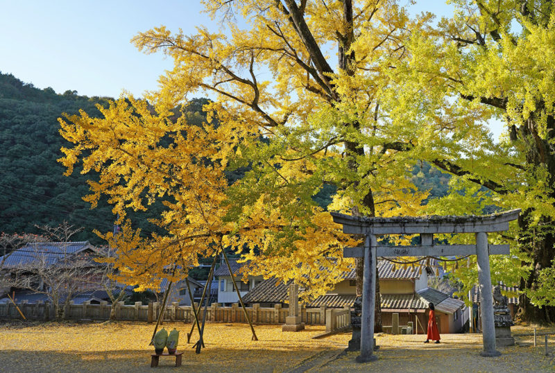 【樹齢600年 天然記念物】岩部八幡神社の大銀杏 – [600 year-old tree / Natural monument]Ginkgo trees of Iwabu Hachiman Shrine