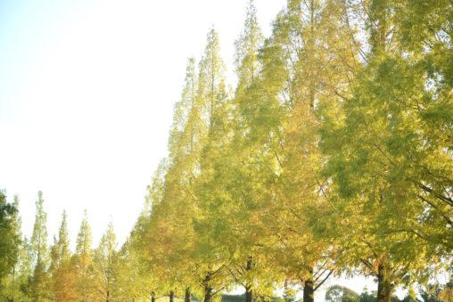 高松空港のメタセコイア並木 – Rows of Metasequoia trees in Sanuki Airport Park