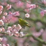 栗林公園の梅が見頃です。江戸時代から親しまれてきた梅園 – Ritsurin Garden Japanese Apricot Trees