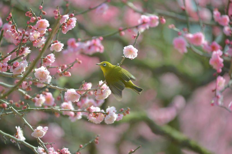 【香川 2/20-21】栗林公園の梅が見頃です。江戸時代から親しまれてきた梅園 – [Kagawa Feb 20-21] Ritsurin Garden Japanese Apricot Trees
