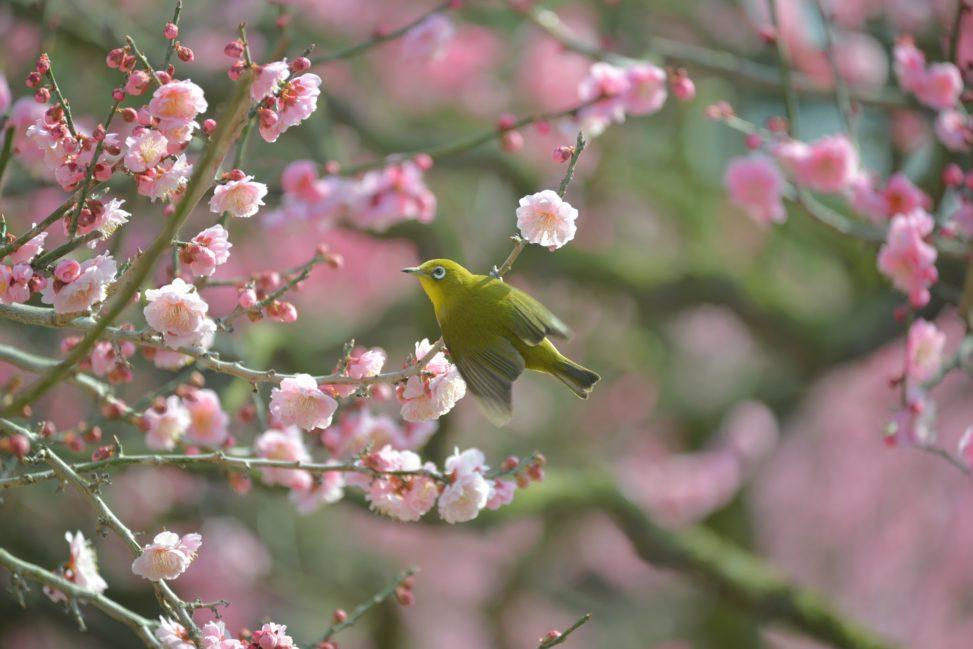 【香川 2/20-21】栗林公園の梅が見頃です。江戸時代から親しまれてきた梅園 - [Kagawa Feb 20-21] Ritsurin Garden Japanese Apricot Trees