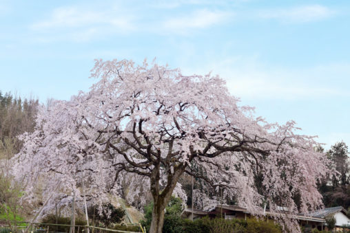 香川県綾川町の堀池のしだれ桜 – Weeping cherry of Horike
