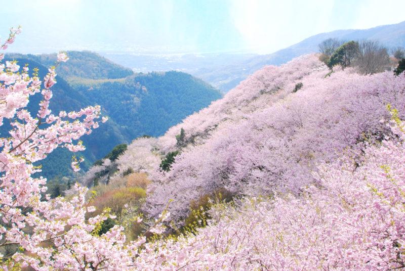 "八千本、桜の山、八百萬神之御殿の桜 – 8,000 cherry trees ""Yaoyorozu no Kamino Goten"""
