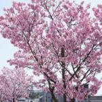 愛媛で生まれた瀬戸内の桜『陽光桜(ヨウコウザクラ)』 – Yoko Sakura cherry trees