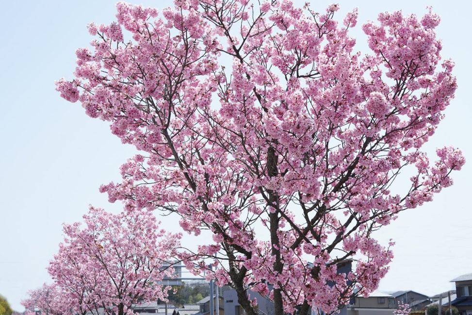 陽光桜(ヨウコウザクラ)