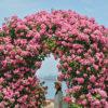 いい香り、港の小さな薔薇園 - Small rose garden at Takamatsu port.